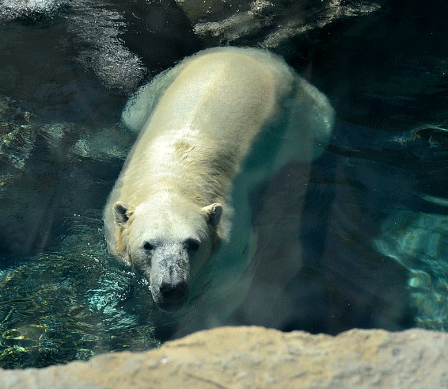 Frolicking polar bear at the zoo.