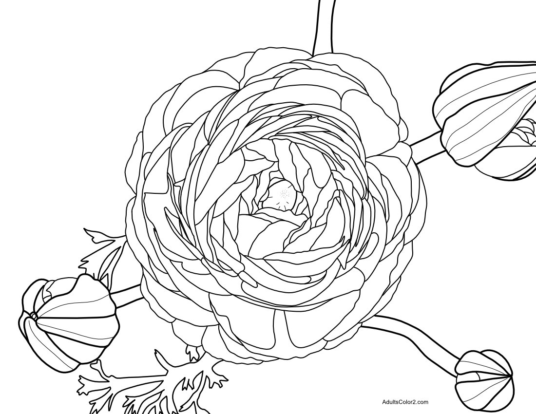 Ranunculus line drawing for coloring.