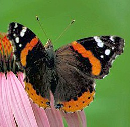 Red anmiral butterfly on purple coneflower.  Source:Wikimedia Commons