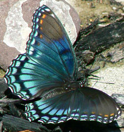 Red spotted purple. Source:WikimediaCommons