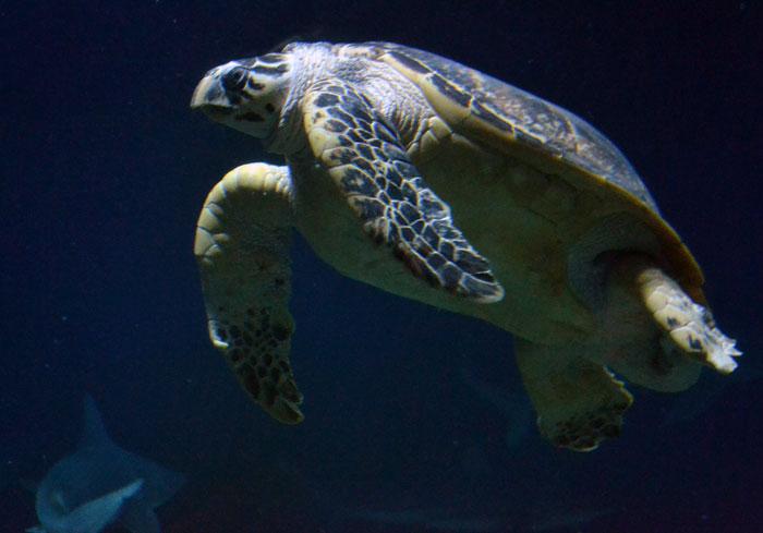 Sea turtle photo taken at Albuquerque Aquarium.