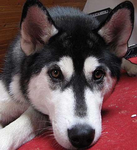 Siberian husky waiting for her human?  Source:Wikimedia Commons