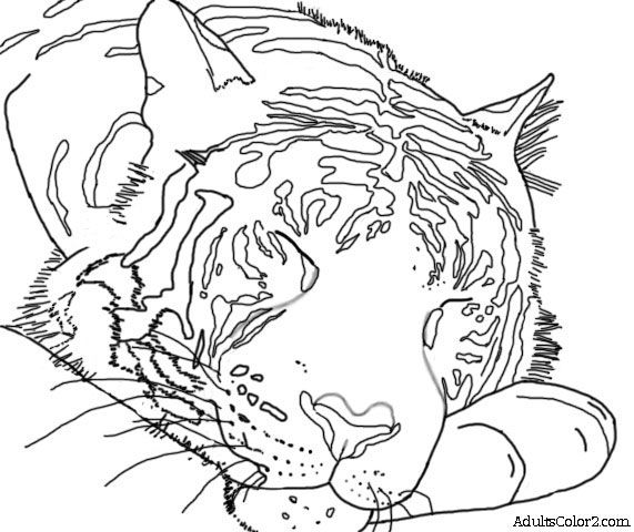 Sketch of a sleeping tiger.