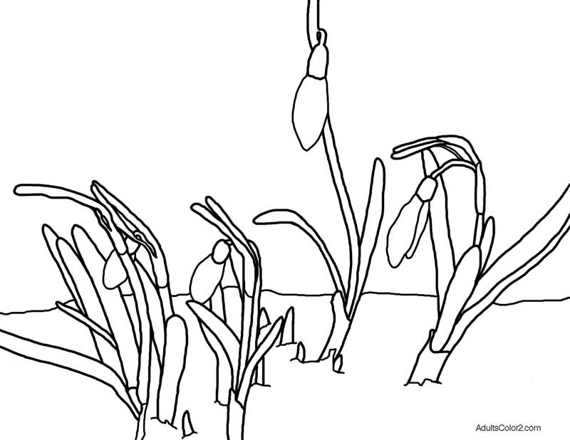 Drawing of snowdrops. coloring page derived from a photo on Wikimedia.