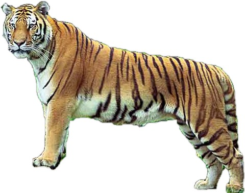 Photo of a tiger. Source:WikimediaCommons