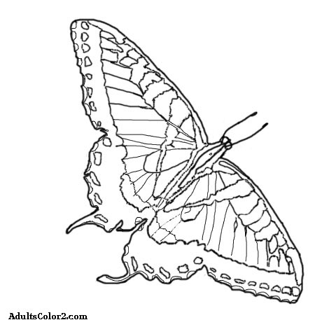 Sketch of a tiger swallowtail.
