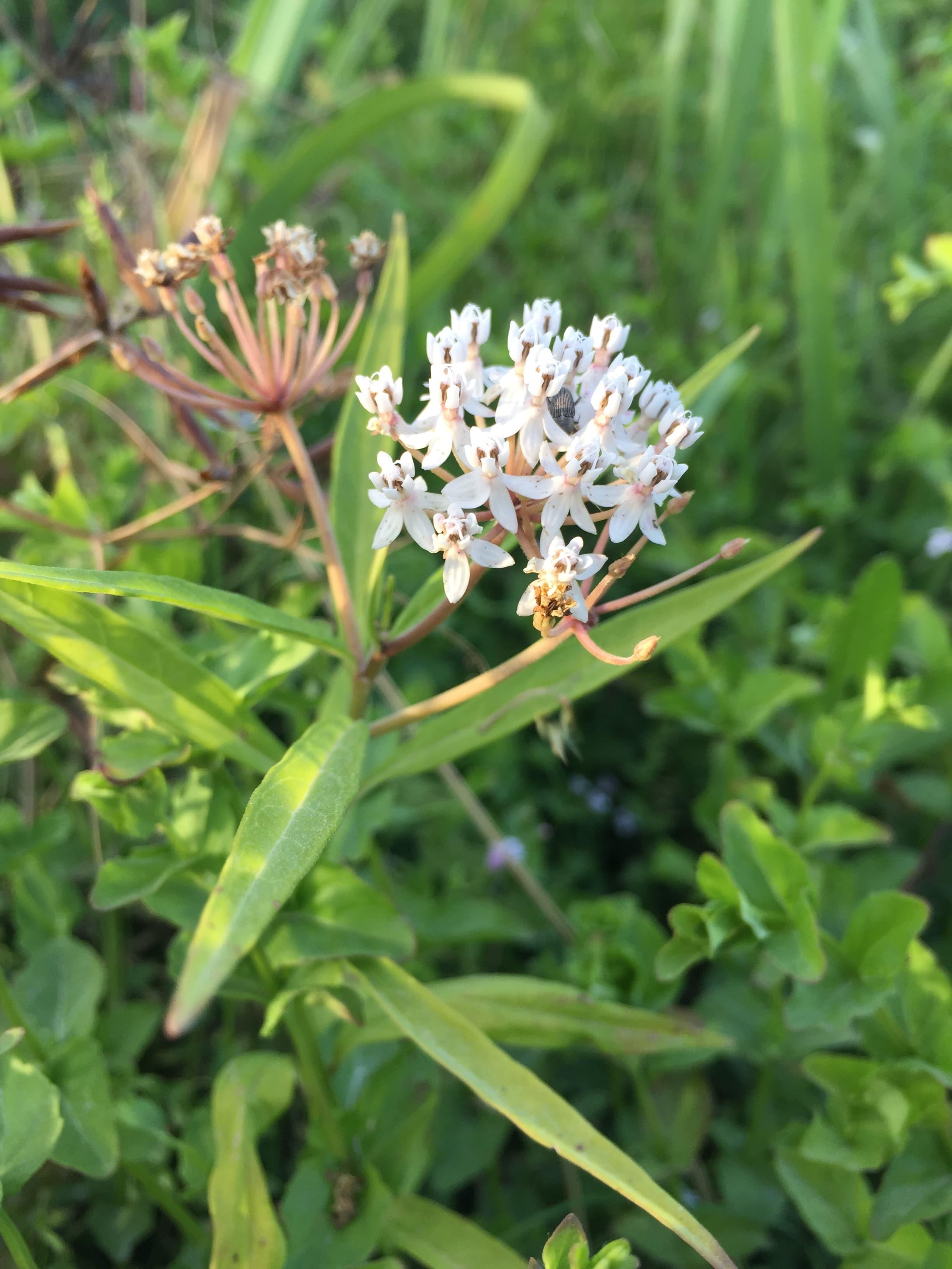 Native milkweed growing in my garden.