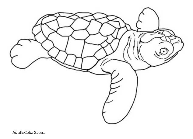 Black and white drawing of a newly hatched loggerhead.