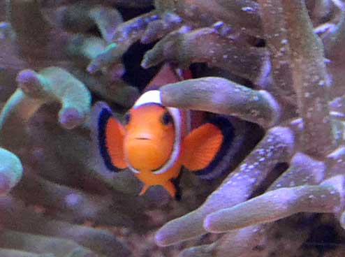 Clown fish residing in the arms of an anemone.