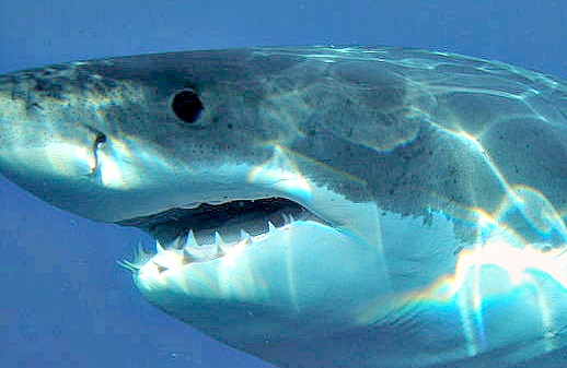 Great white shark displaying a mouth full of teeth.