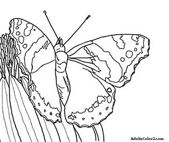 Line drawing of red admiral butterfly.