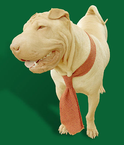 Shar Pei looking sharp in his stylish tie.