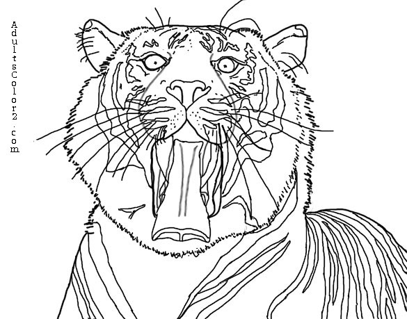 Line drawing of a yawning Sumatran tiger based off a phot taken by Moonlight0551. Source:WikimediaCommons
