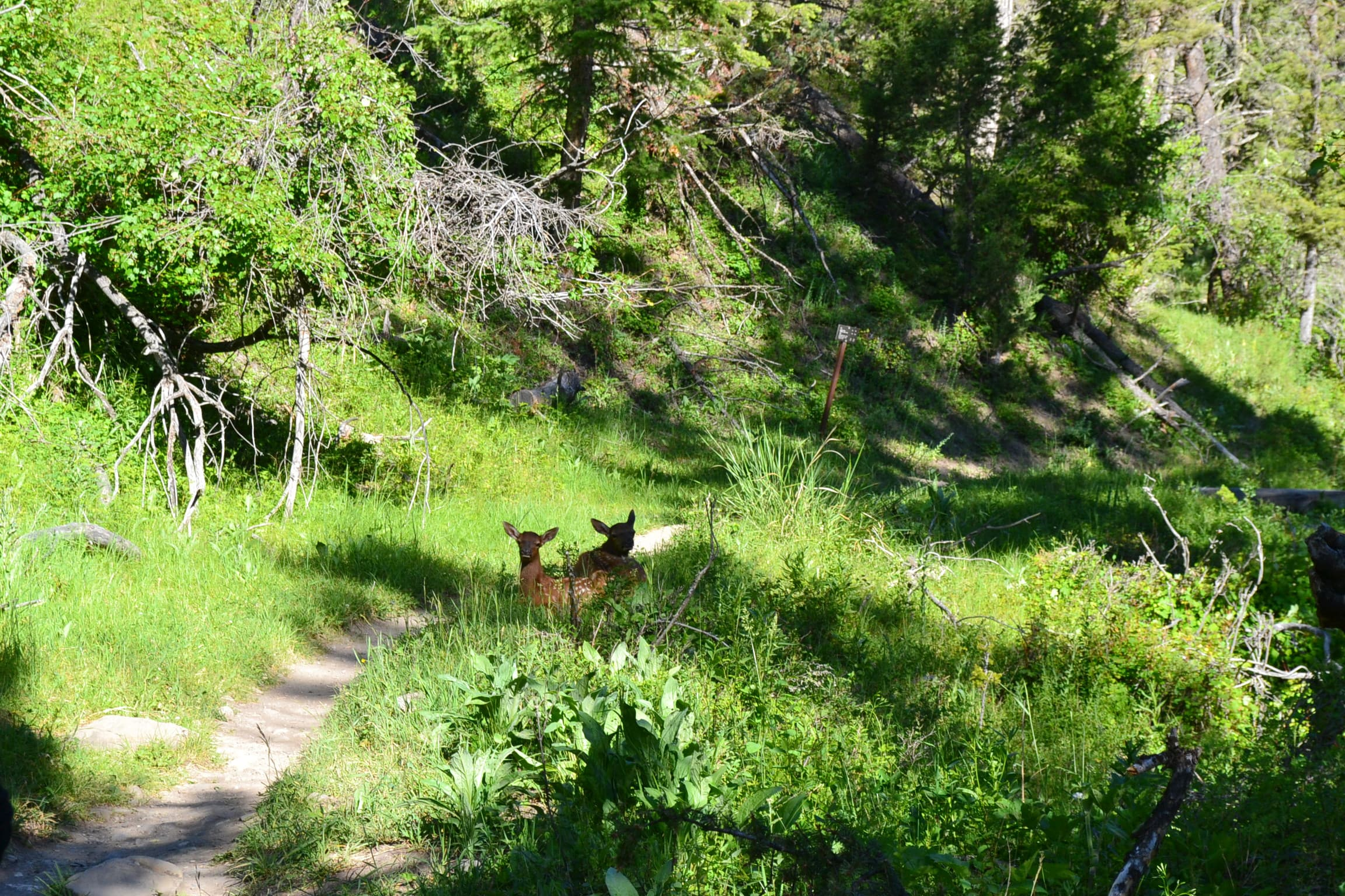 Young elk resting beside the Beaver Ponds Trail.